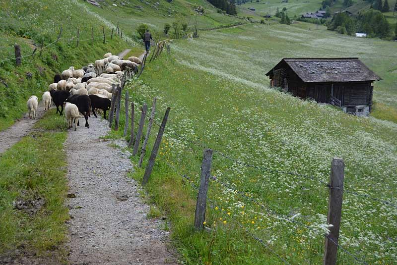 Schafe auf dem Weg nach Hause | Foto: Susanne Radke